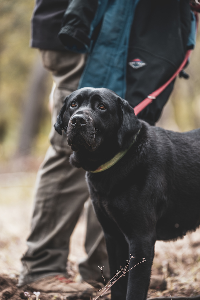 Black lab at barjarg